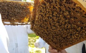 save-our-bees-brood-frame-inspection