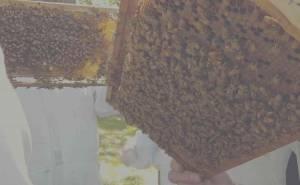 save-our-bees-honeybee-brood-honeycomb