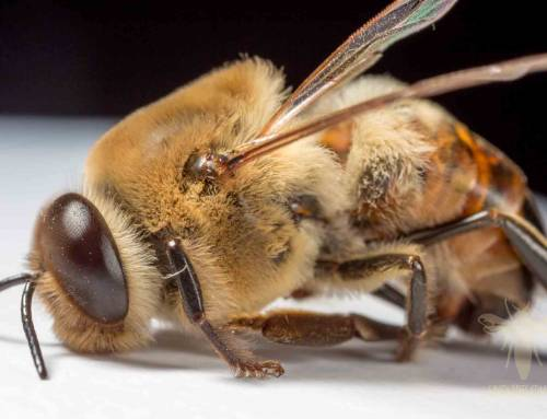 Drone Honey Bee: Study in Macro