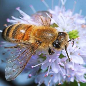 worker bee-on-mint-blossom