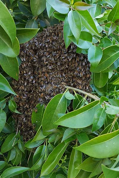 bee swarm attached to small branch,bent over with weight 2