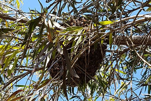 bee-swarm-gathered-in-bottle-brush-tree