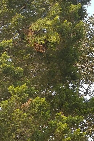 large bee swarm in a conifer