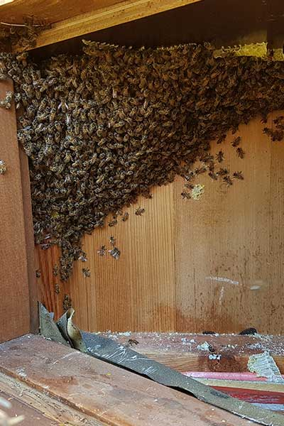 honey bee nest in between wood panels under a bay window close up 2