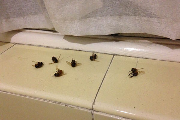 6 scout bees found on a window sill
