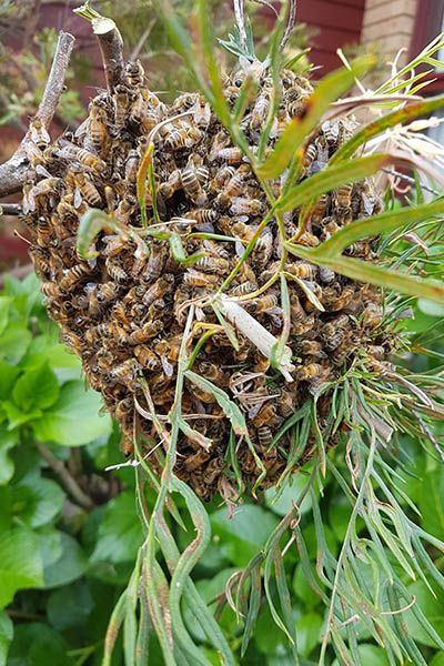 small-bee-swarm-gathered-in-bottle-brush-tree