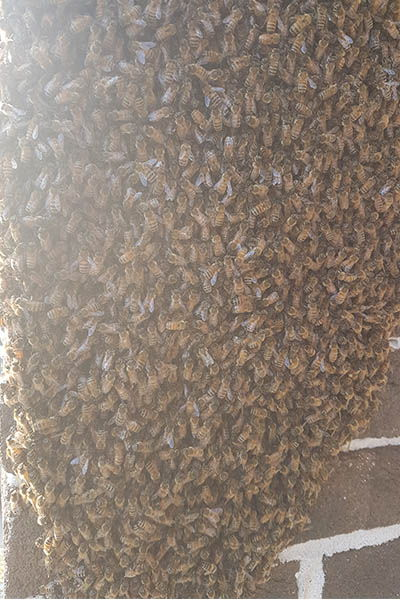 ;arge prime bee swarm attached to brick wall