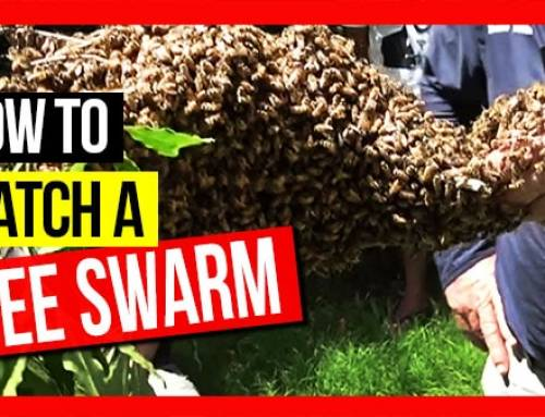 How to Catch A Bee Swarm ft Bruce White | ABA of NSW Field Day 2019